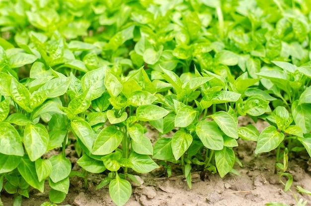 温室内の緑色のペッパー苗、フィールドでの移植の準備、農業、農業