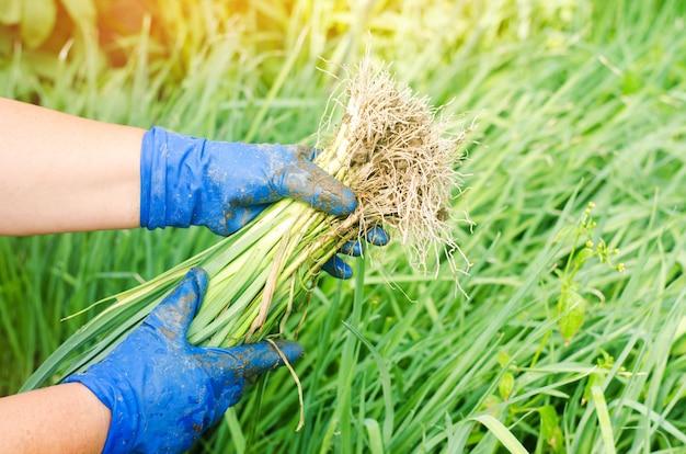 ネギの苗は畑に植える準備ができている。農業、野菜