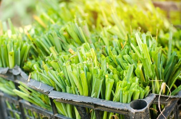 ネギの苗は畑に植える準備ができている。農業、野菜、オーガニック