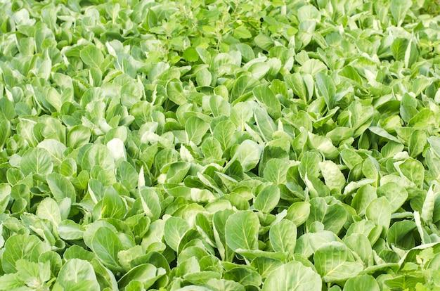 Свежие побеги молодой капусты готовятся к посадке в поле. сельское хозяйство, овощи