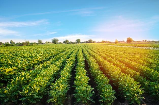 Картофельные плантации растут в поле. овощные ряды. земледелие, сельское хозяйство. пейзаж