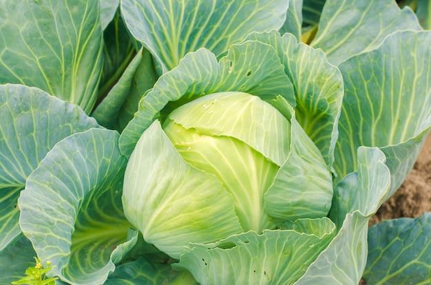 ワーム - キャベツの害虫。野菜の病気