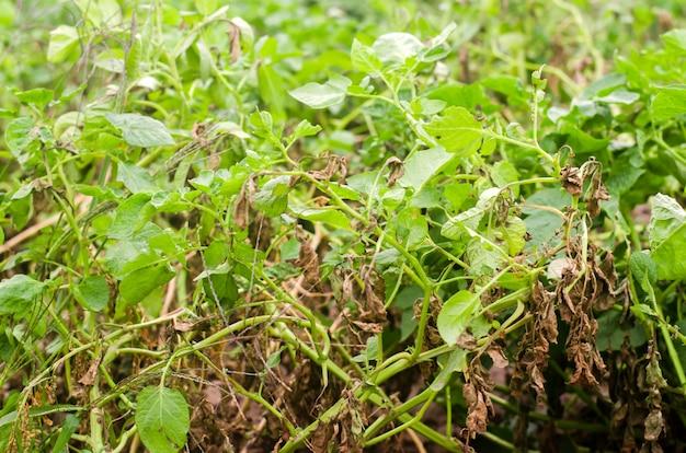 病気とジャガイモの葉。