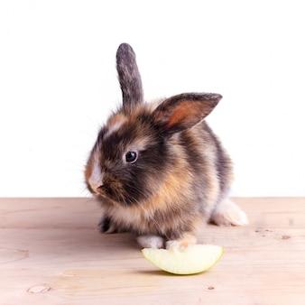リンゴを食べる大きな耳を持つ三色ウサギ