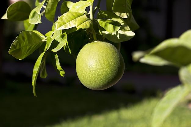 緑のグレープフルーツを庭の木に熟す