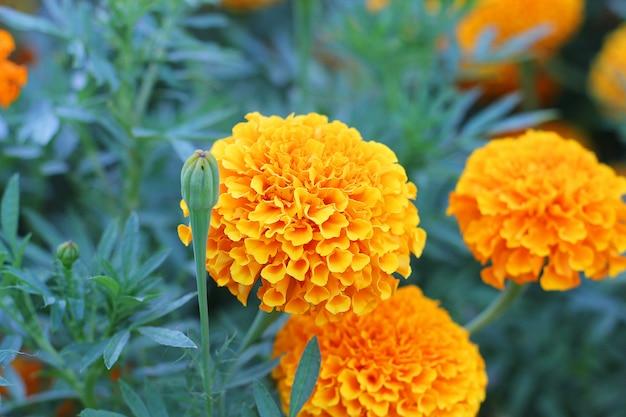 緑の庭の黄色のマリーゴールドの花