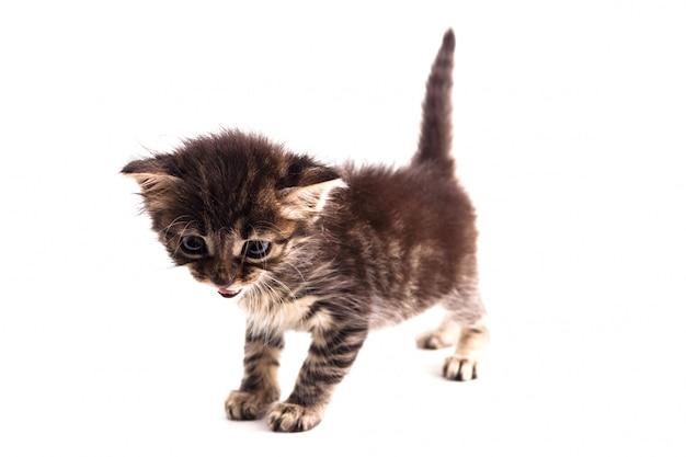 Серый полосатый котенок с голубыми глазами. изолированный белый