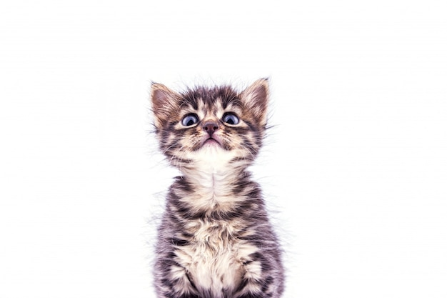 見上げる大きな青い目を持つ美しいふわふわぶち子猫