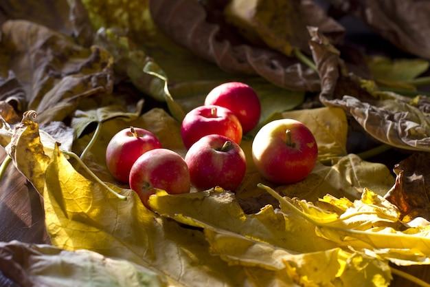 黄色い葉に黄色と赤の秋のリンゴ