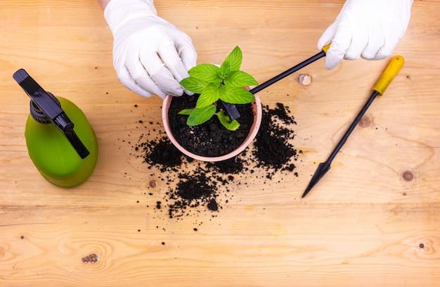 Домашнее садоводство. руки в перчатках сажают куст мяты в горшок