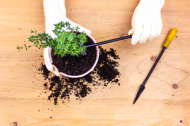 Домашнее садоводство. руки в перчатках посадили куст тимьяна в горшочке
