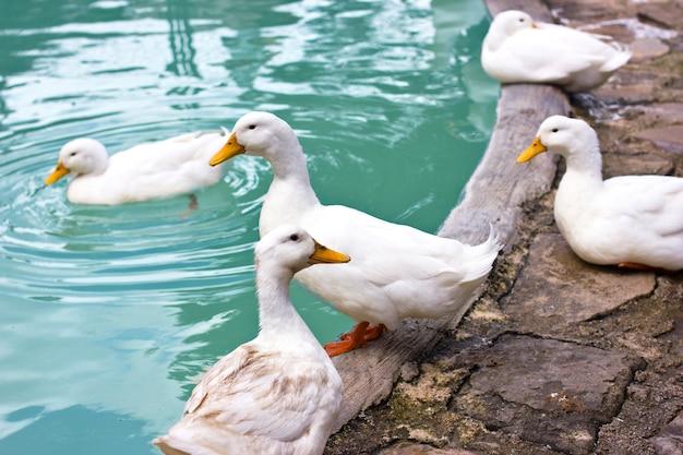白いアヒルと青い池の海岸にガチョウ