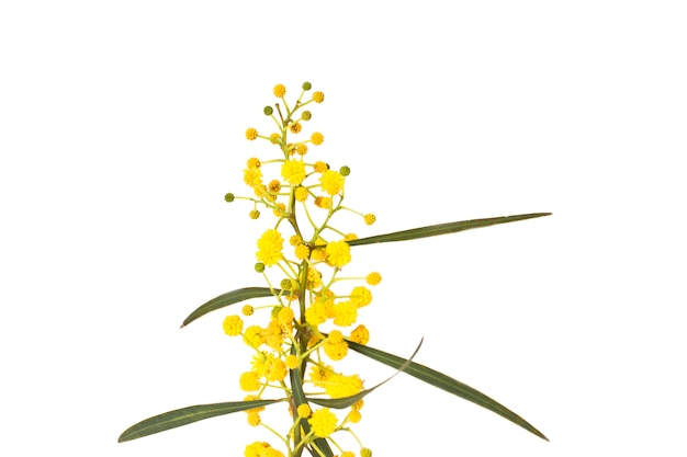 ミモザの春の黄色の花。マクロ、選択フォーカス