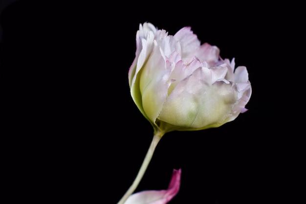 白い牡丹のクローズアップは、黒の背景にある。人工偽シルクの花