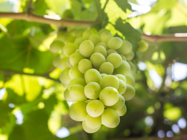 Гроздь зеленого винограда, растущего на виноградной лозе