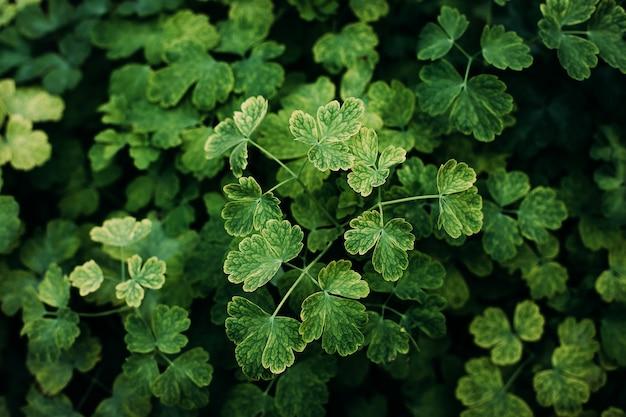 Красивый зеленый клевер