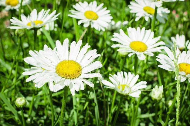 Цветы ромашки в саду. летние цветы