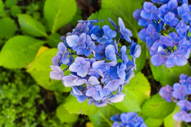 庭の青い花アジサイ。自然の背景