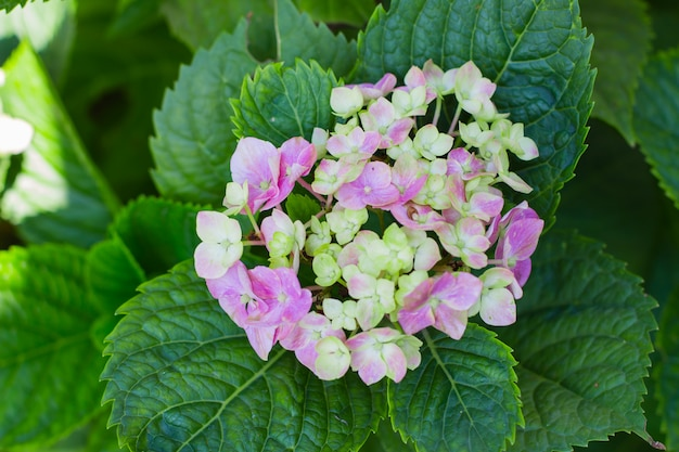 庭のピンクの花のアジサイ。自然の背景