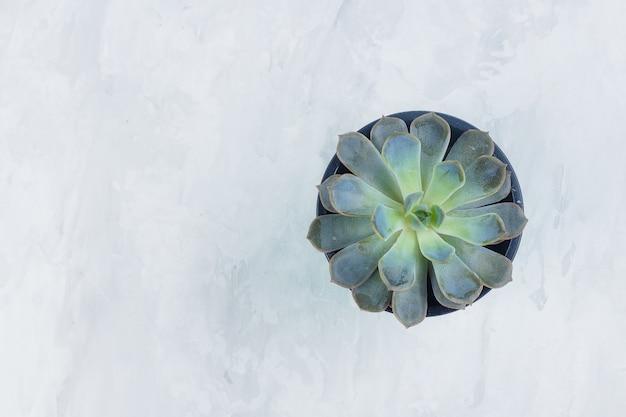 多肉植物エケベリア。灰色の石のコンクリートの背景に分離された美しい緑の多肉植物