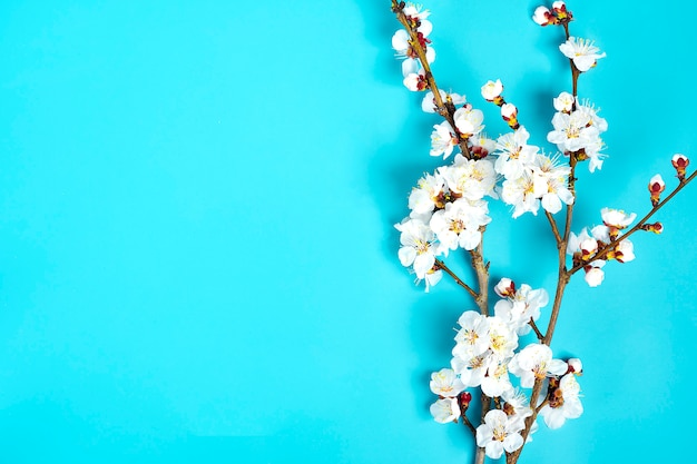Веточки абрикосового дерева с цветами на синем фоне.