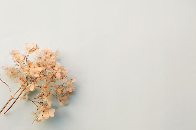 Сушеные цветы гортензии на голубом фоне. копировать пространство