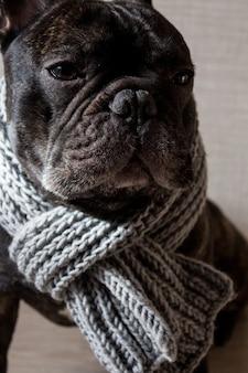 ニットの暖かいスカーフ、かわいい居心地の良い黒い犬とフレンチブルドッグを閉じます。