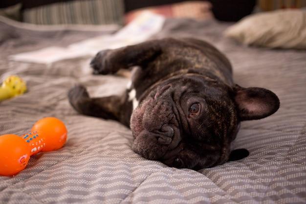 ベッドの上の彼のおもちゃで遊んでブリンドルフレンチブルドッグを閉じる