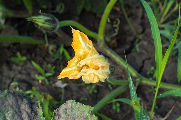 ズッキーニ植物。ズッキーニの花。緑の野菜の骨髄は茂みで生えています。収穫。おいしい食べ物。