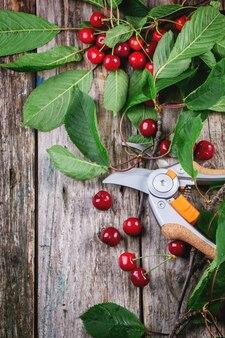 Букет из свежей вишни с секатором