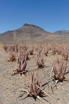 Плантация лекарственного растения алоэ вера на канарских островах, испания. поле искусственно орошается из-за засушливого климата.