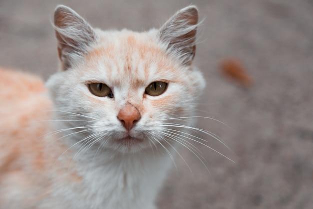 Белый и оранжевый кот, глядя на камеру.
