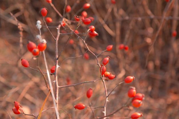 赤いローズヒップ。秋のローズヒップのマクロ写真