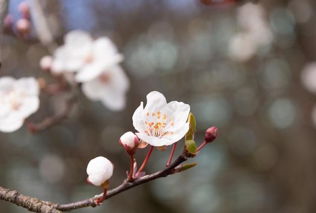 春に咲く芽とアプリコットの木の花