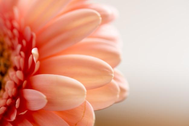 白い背景に、鮮やかなピンクのガーベラデイジーのマクロ写真