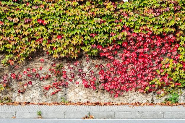 一般的なアイビーまたはヘデラヘリックスで覆われた汚れた損傷した素朴な壁の半分に緑と赤のクライマープラント