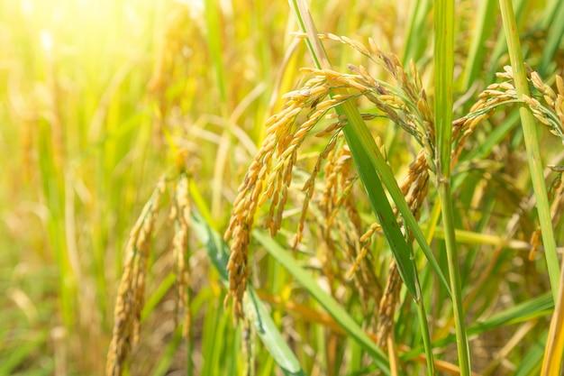 Освещенная желтая рисовая посадка в таиланде