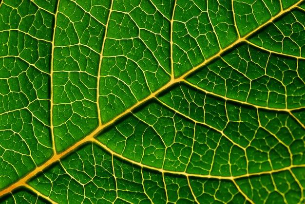 緑の葉の詳細 - 美しい静脈