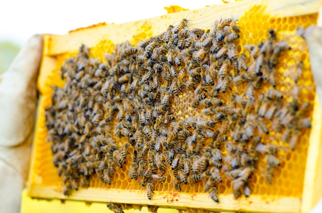 養蜂家が蜂でいっぱいハニカムを保持