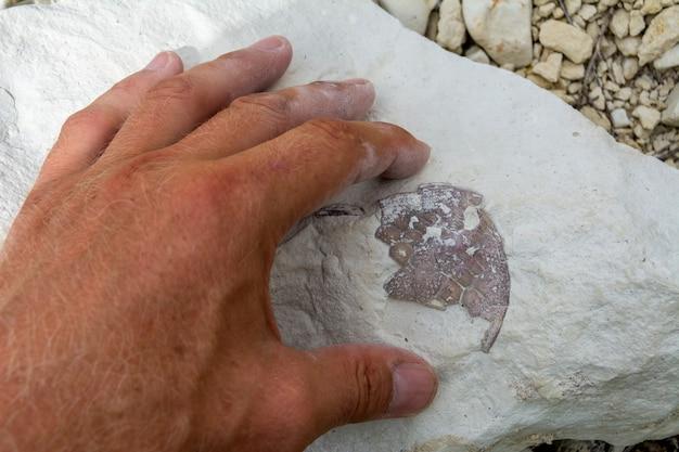 古生物学者が化石を調べる。石で古代の両生類の鎧。