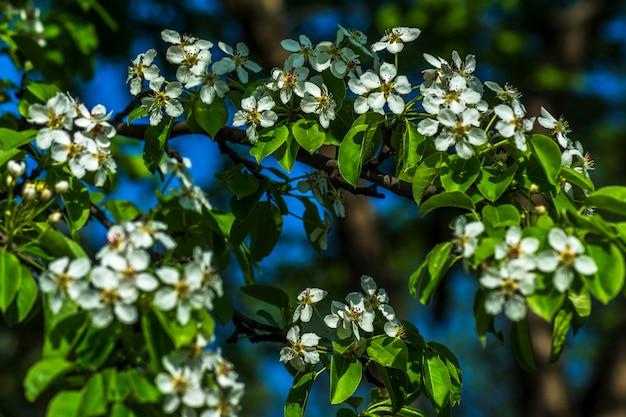 春の桜の花と木の枝