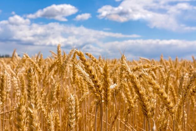 熟した小麦の畑。