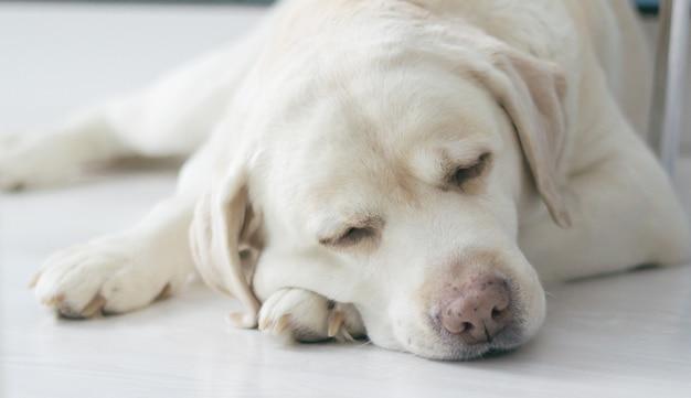 Лабрадор ретривер портрет. собака спит на полу кухни
