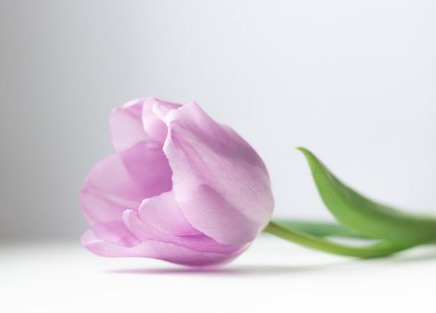 Розовый тюльпан на светлом фоне. пасхальная и весенняя открытка, красивый цветок крупным планом