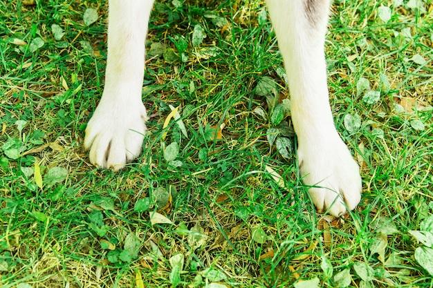Собачьи лапы на зеленой траве в парке. белая собака. хаски