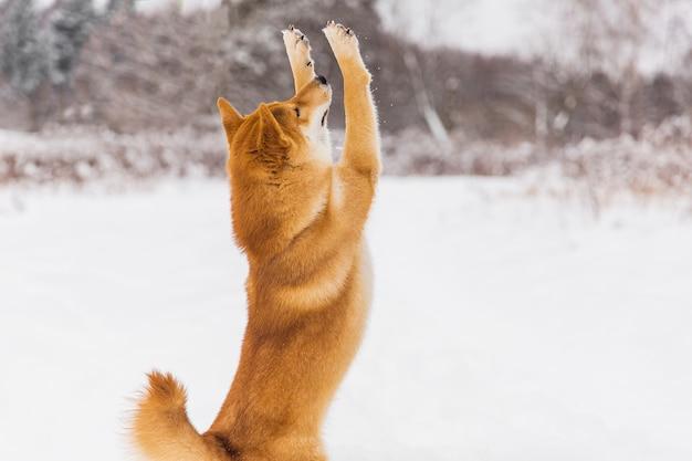 茶色の血統書犬がフィールドに雪で遊んで。柴犬。美しい犬