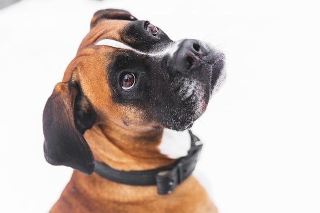 雪の上の茶色の血統付き犬の肖像画。ボクサー。