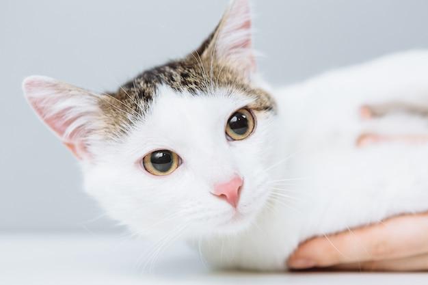 Белая кошка осмотрена ветеринаром