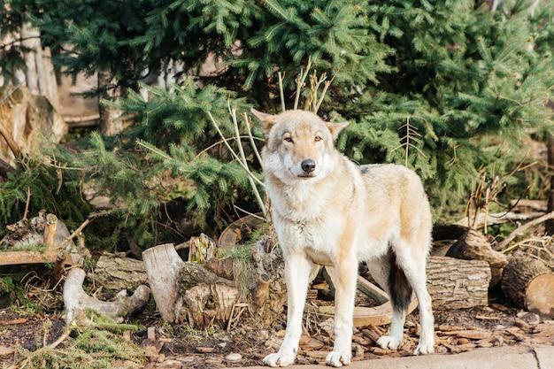 Серый волк в зоопарке, дикое животное
