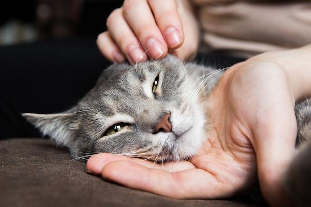 Серая кошка лежит в руках девушки